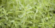 glycosides-de-stéviol-stevia